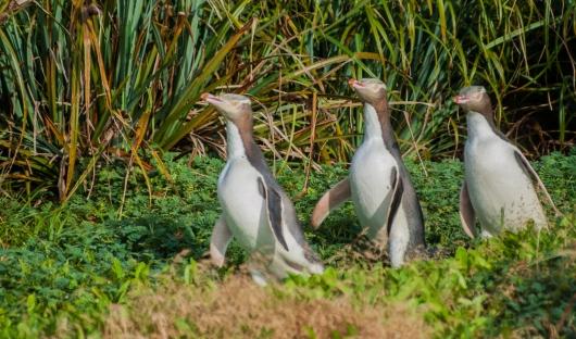 Resized-Yellow-Eyed Penguins- Enderby shutterstock_1307815510