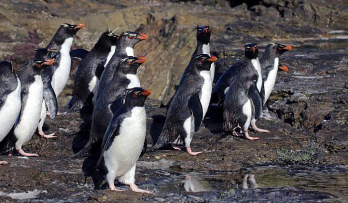 Rockhopper Penguins Falklands