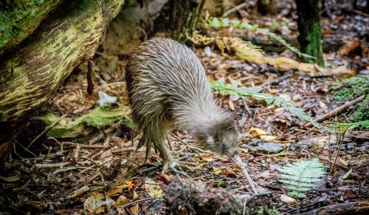 Ulva Island- Kiwi Bird