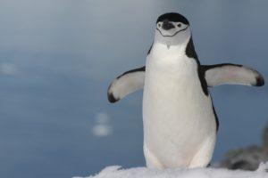 Chinstrap Penguin, Antarctic Peninsula by Yvette Jaczina