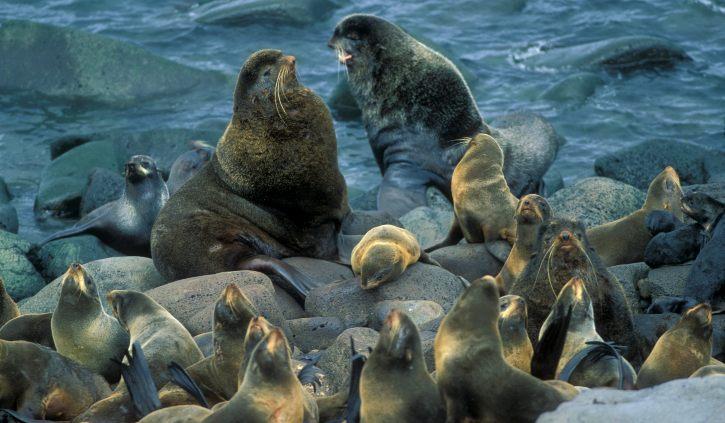 Fur seals Pribilof