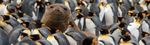 Heritage Expedition - Young Elephant Seal in King Penguin Colony