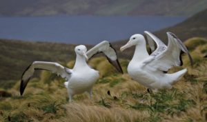Heritage Expeditions - Southern Royal Albatross
