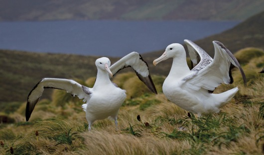 Resized©KOvsyanikova Southern Royal Albatross