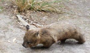 Wombat Tassie Islands