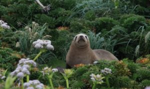 Heritage Expeditions - New Zealand Sea Lion