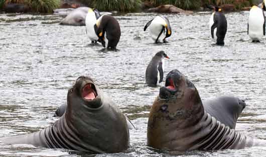 South Georgia seals