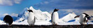 Gentoo Penguins hero