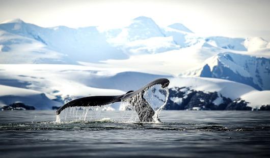 Ponant ONLY Paradise Bay Baleine à bosse-Antarctique
