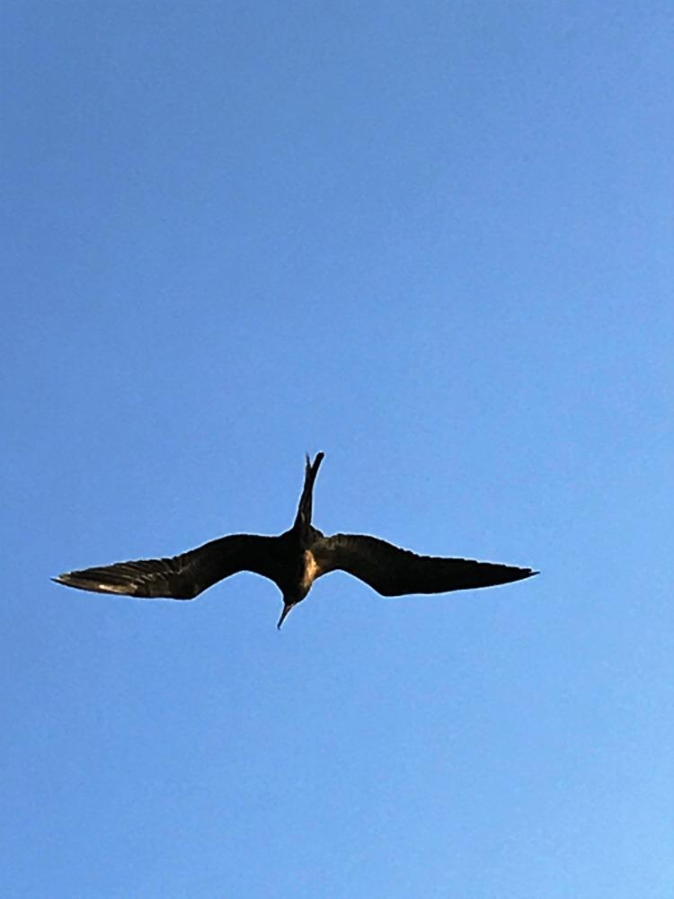 Frigate Bird by Peter Manger
