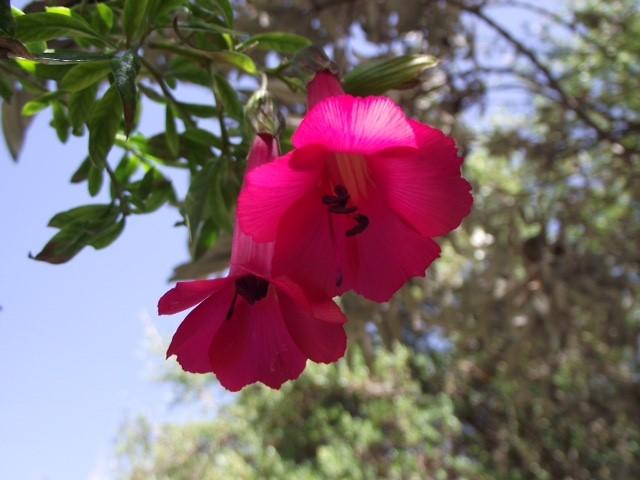 Cantuta flower outside Cusco by Alison Duncan