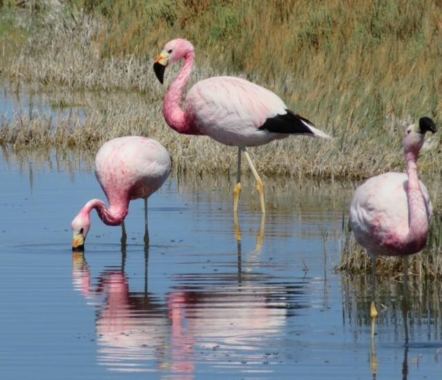 Flamingos in Atacama by Alison Duncan