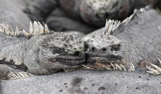 Marine Iguana Lynda Chambers Feature Image