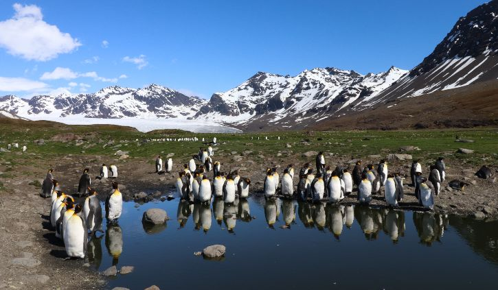 king penguins st andrew's bay south georgia