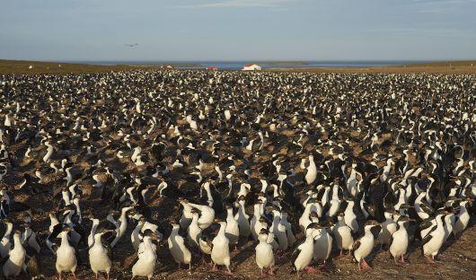 Imperial Shags, Bleaker Island, Falklands