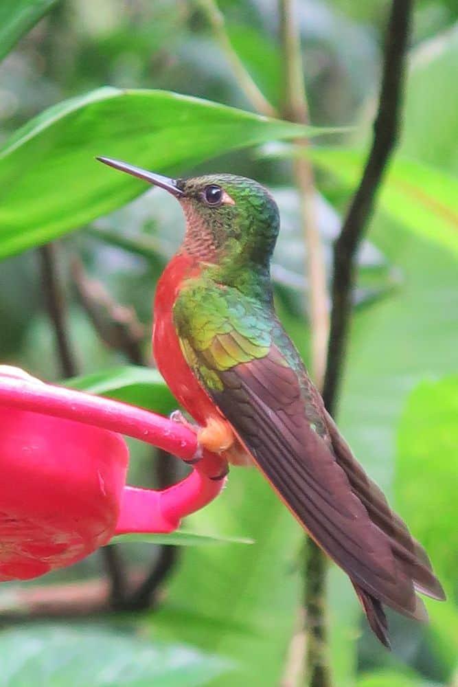 Chesnut-Breasted Coronet Hummingbird, Machu Picchu, Peru by Janet Keefe