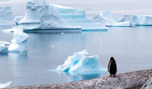 Gentoo Penguin on Curverville Island by Kerry Hughes