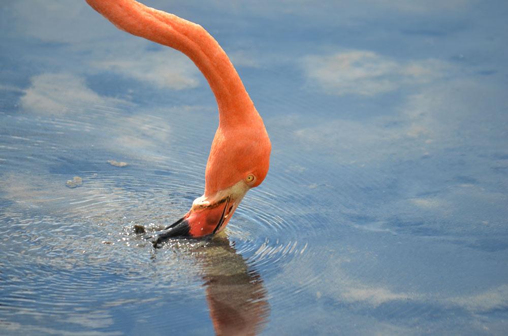 Flamingo, Galapagos - Richard Atkinson