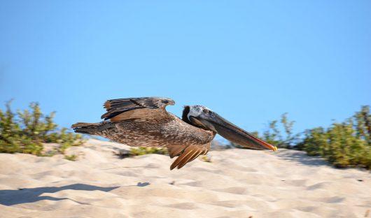 Pelican, Galapagos - Richard Atkinson