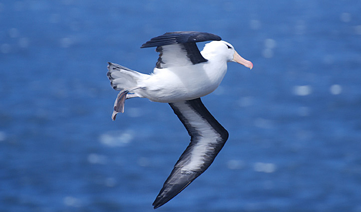 Blac Browed Albatross