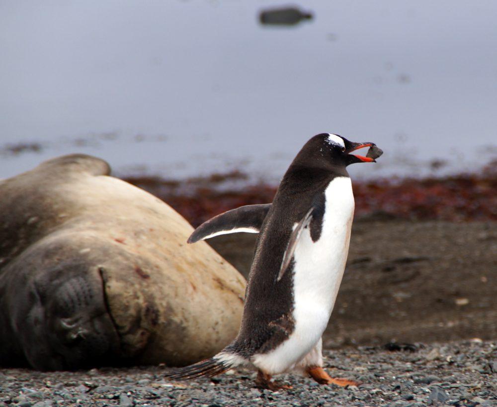 Gentoo Penguin Building a Nest by Margrit Kaufmann