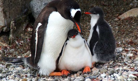 Gentoo Penguin Mum and Chicks by Kim Crofts