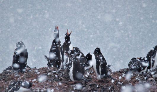 Gentoo Penguins by Querida David