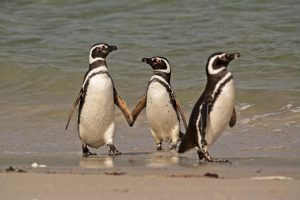 Magellanic Penguins on Carcass Island in Falklands by Adrien Froidevaux