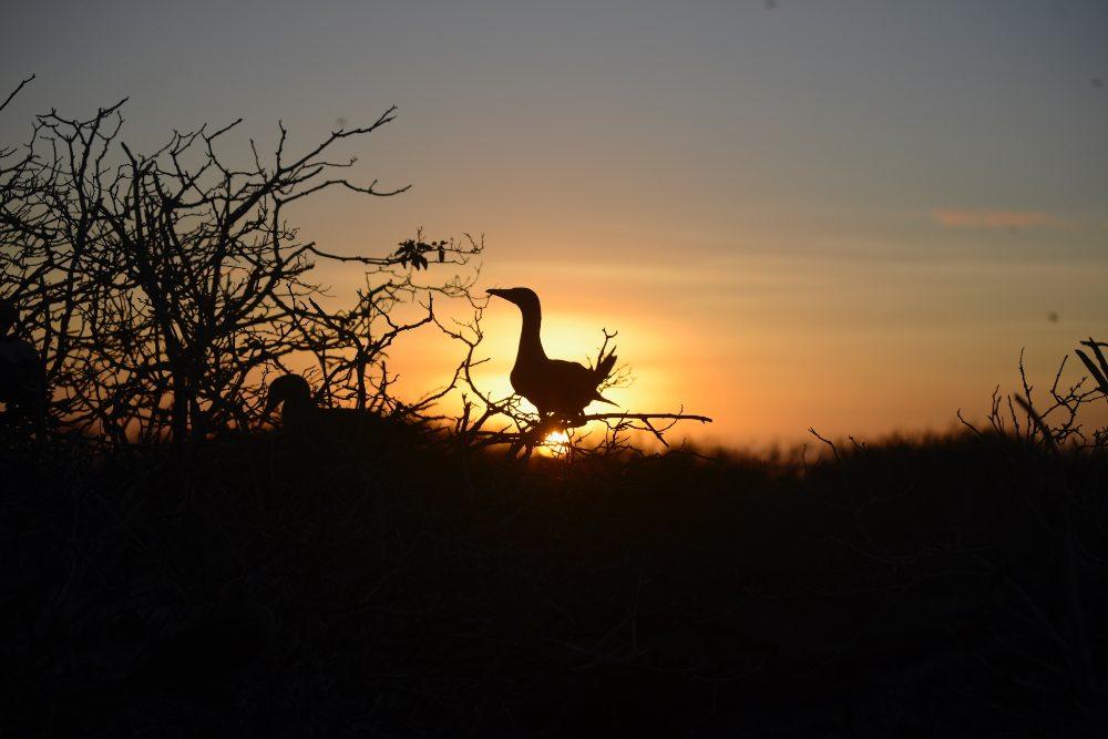Sunset Booby by Caroline Van de Pol