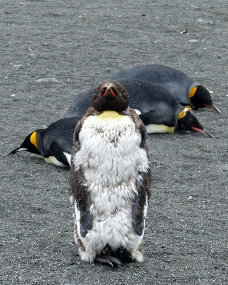 Teenage King Penguin by Margrit Kaufmann