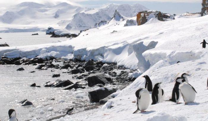 Chinstrap & gentoo penguins