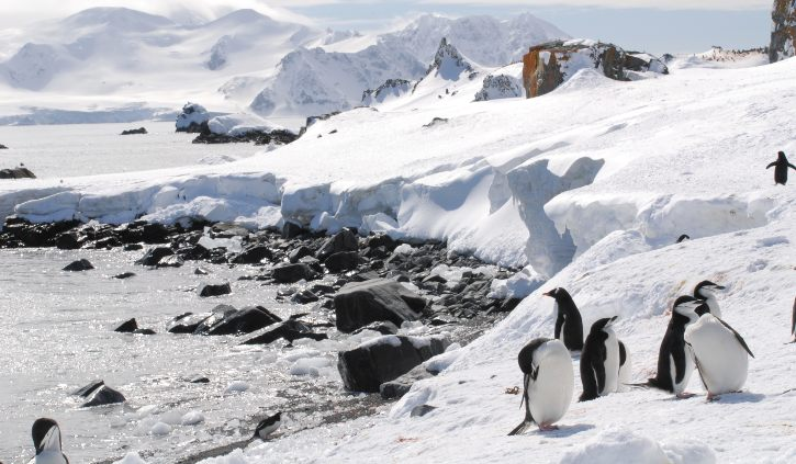 Chinstrap & gentoo penguins
