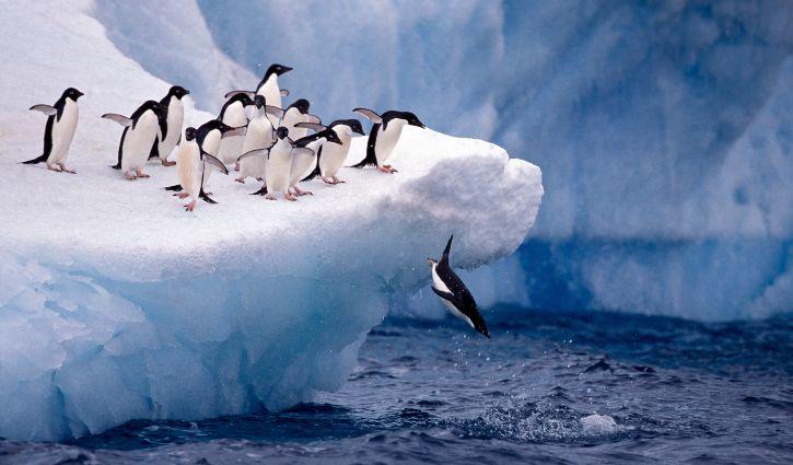 Adelie penguins taking the plunge