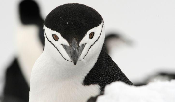 Ponant, Chinstrap Penguin