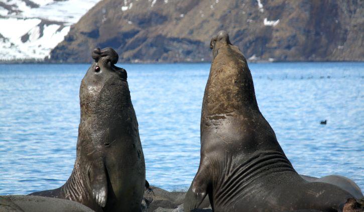 Elephant Seals - David Findlay resize