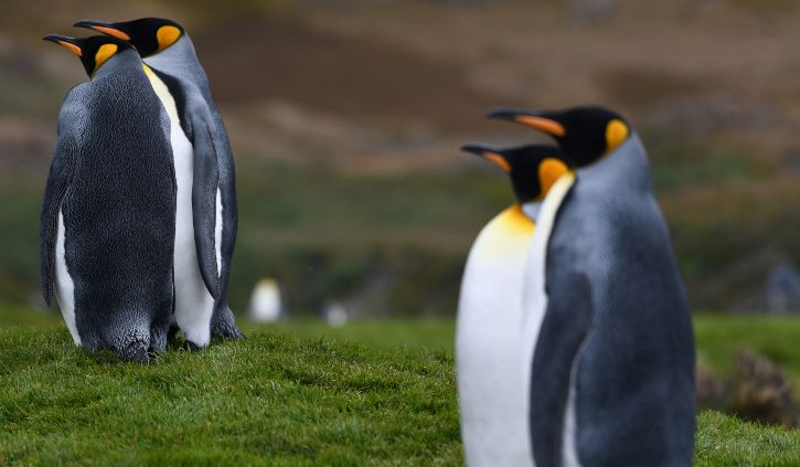 Fortuna Bay King Penguins