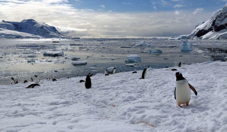 Nekko Harbour Penguin
