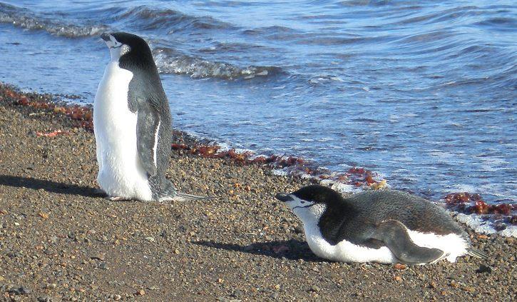 Linda Penguins