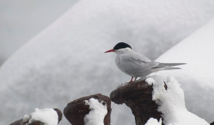 South Georgia Foynhaven Arctic Tern