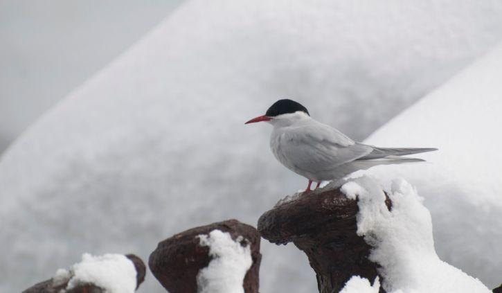 South Georgia Foynhaven Arctic Tern