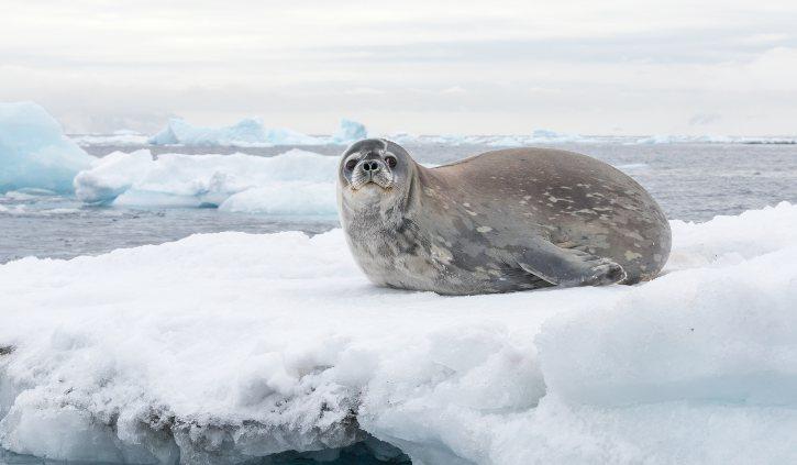 Silversea - Antarctica, Seals
