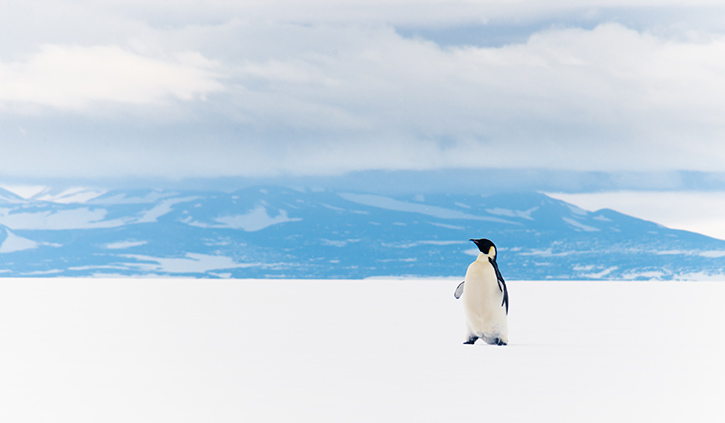 Lone Emperor Penguin