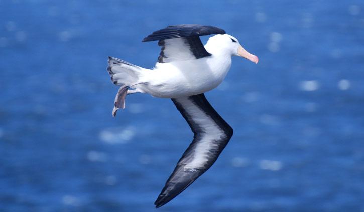 Falklands, Black Browed Albatross
