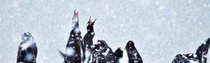 Snow Falling on Gentoo Penguins Querida David