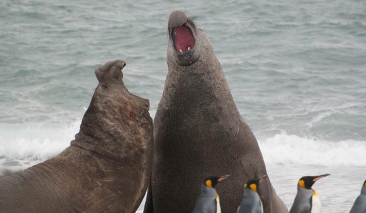 South Georgia Elephant Seals fighting Saint Andrews Bay