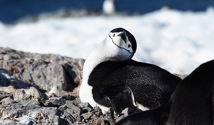 Chinstrap Penguin at Orne Island
