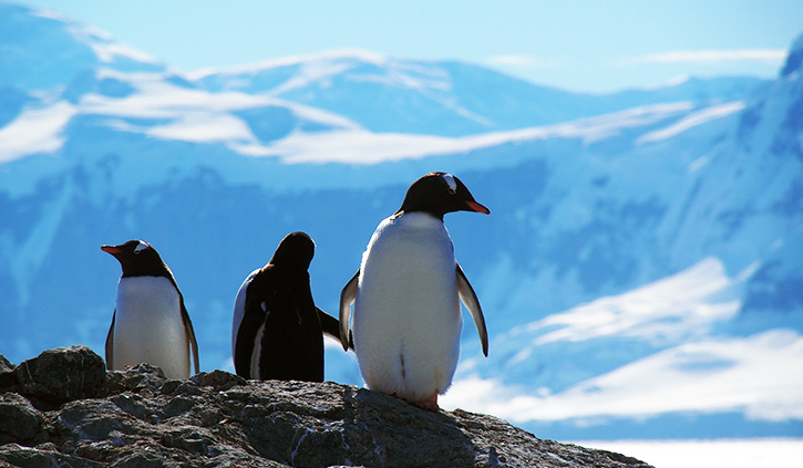 Gentoo Penguins at Orne Island