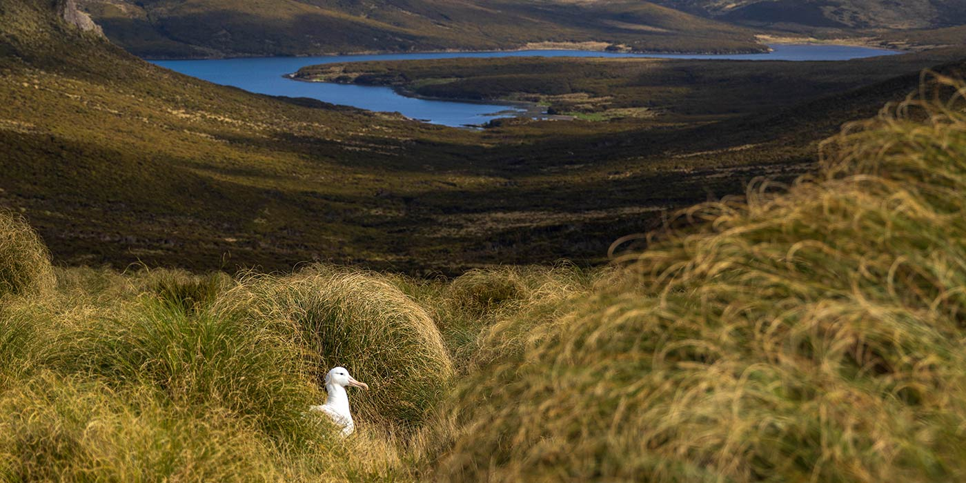 Southern Royal Albatross, Campbell Island