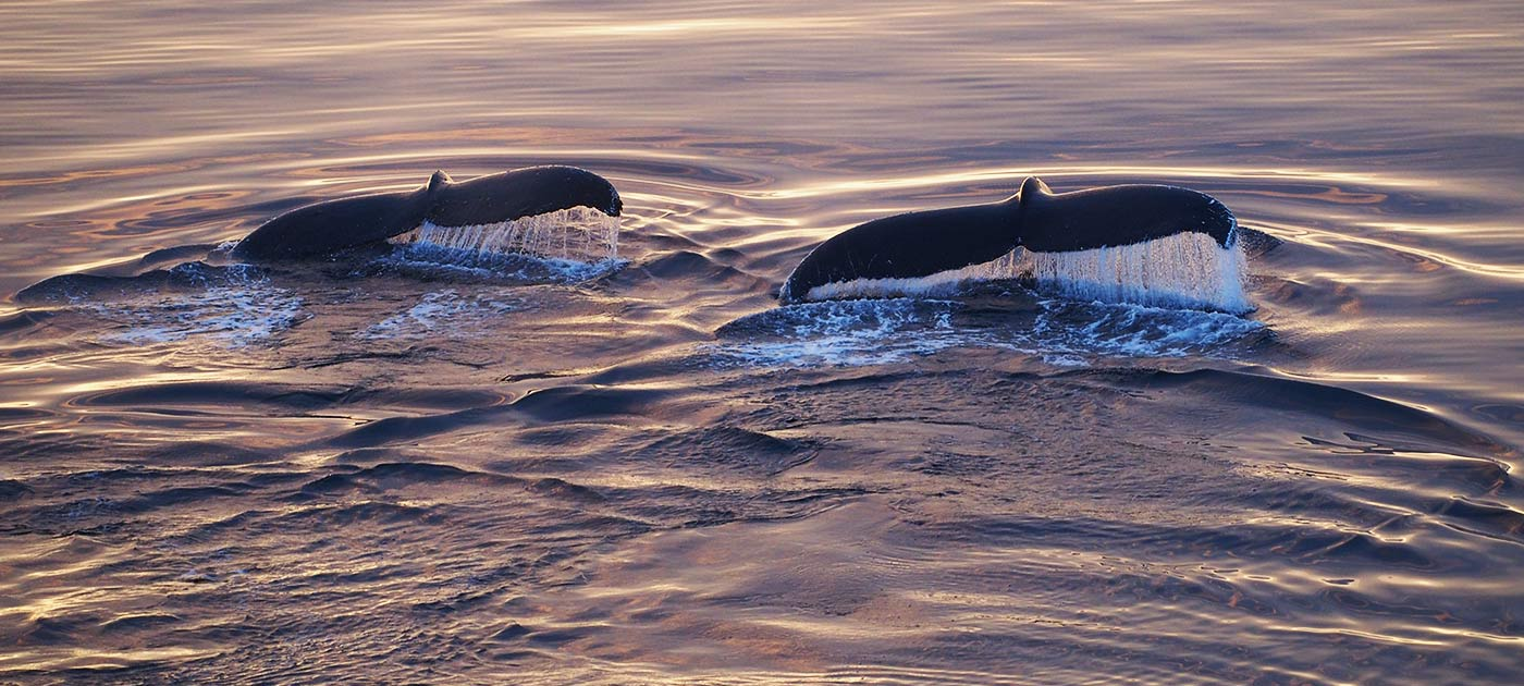 Whales in Lindblad Cove