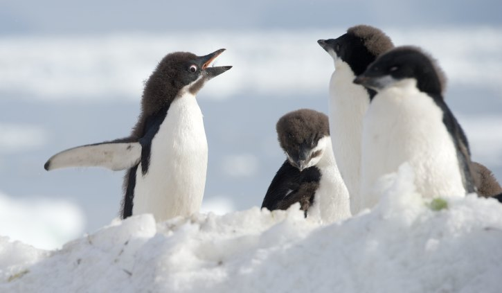 Adelie Penguins - Oceanwide Expeditions